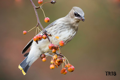 WAXWINGS , MOCKINGBIRDS AND STARLINGS