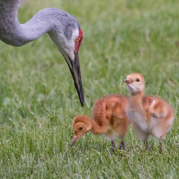 BIRDS - Wading Birds