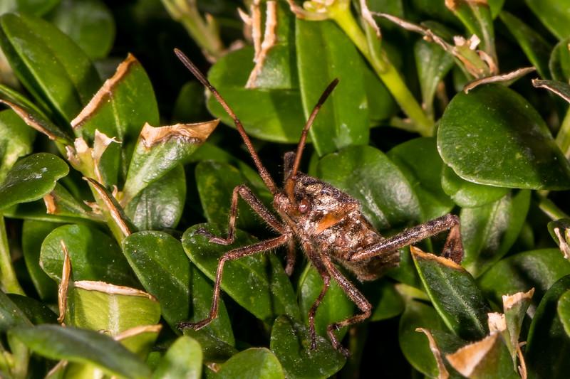 Western conifer seed bug (Amerikanische Kiefernwanze)