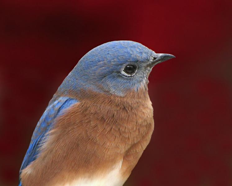 bluebird_5286.jpg