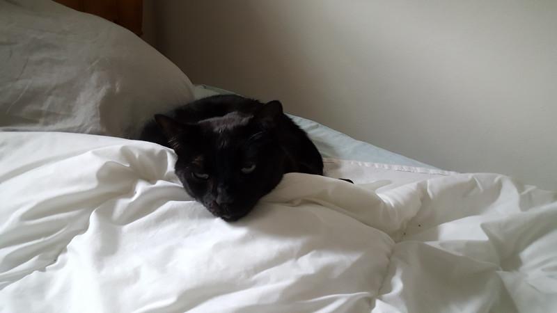 Black fur, white quilt - no problem.