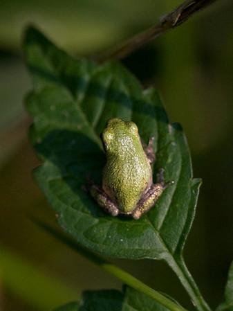 Hyla sp. (cf. versicolor or cinerea)