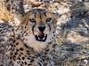 Resting Male Cheetah
