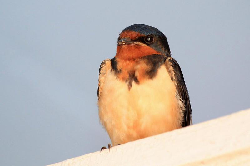 Barn Swallow at a motel near the sanctuary.