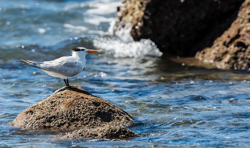 royal terns3 lr.jpg