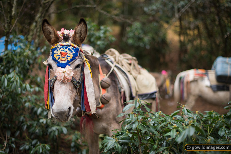 Everest Mule
