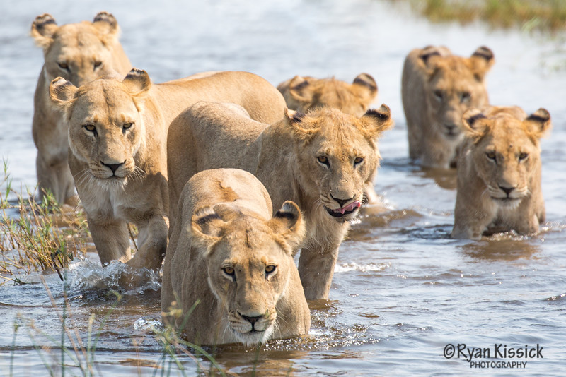 Lions crossing a stream, with the dominant lioness leading the way