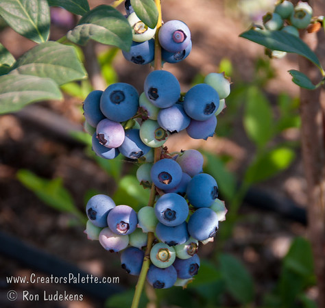 O'Neal Blueberries (Vaccinium hybrid)
