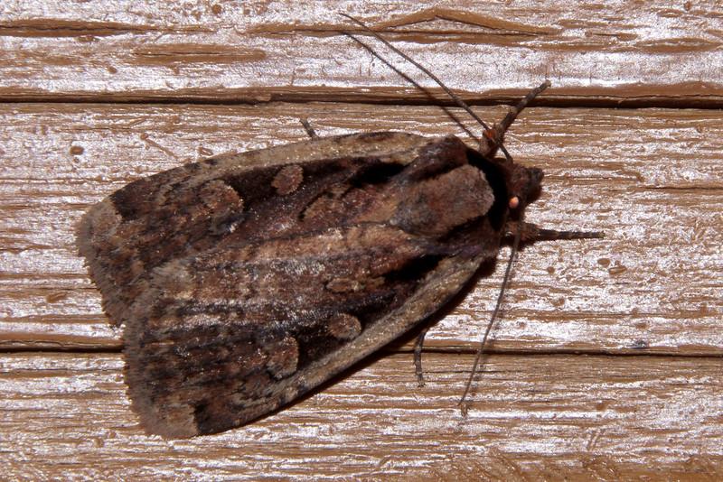 Dart - Sigmoid - (Eueretagrotis sigmoides) - Dunning Lake - Itasca County, MN