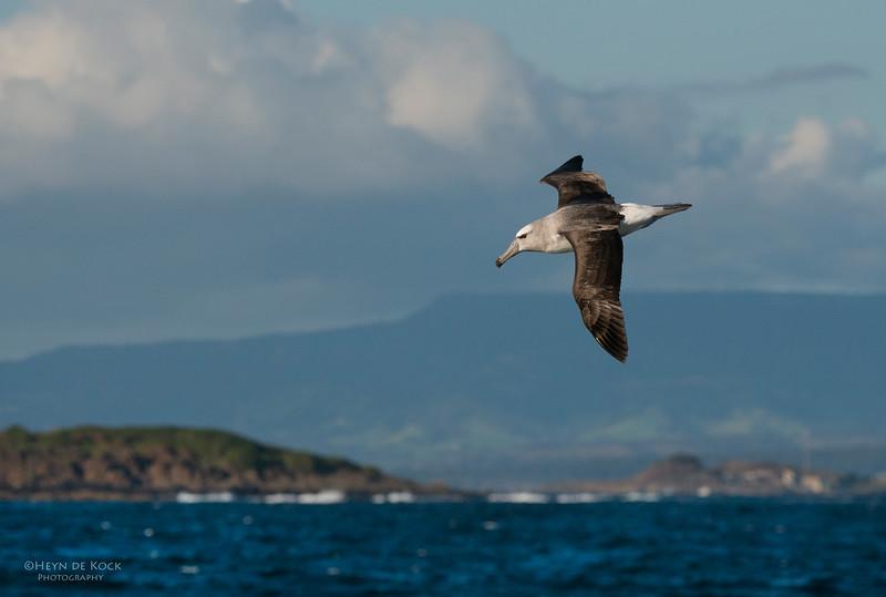 Shy Albatross, Wollongong Pelagic, NSW, Aus, Oct 2012.jpg