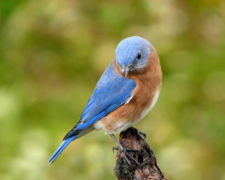 Bluebird_5791.jpg