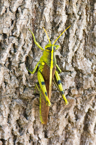Obscure Bird Grasshopper (Schistocerca obscura)