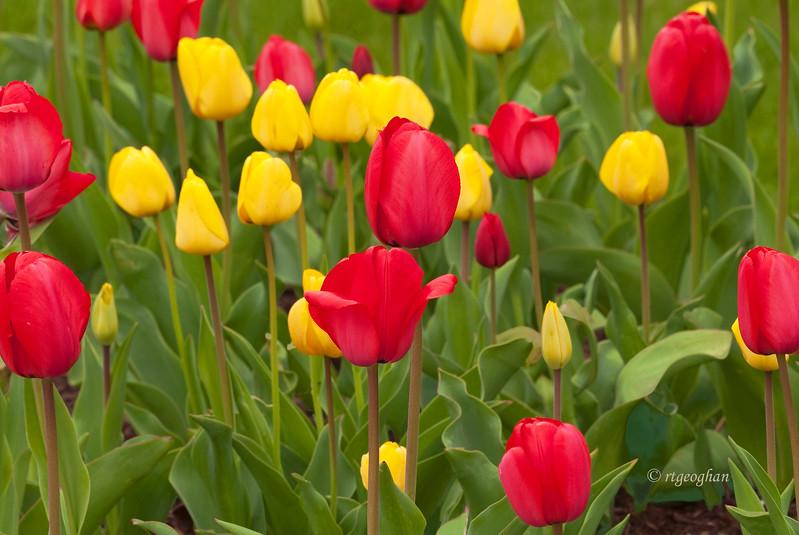 April 22_Tulip Garden_1912.jpg