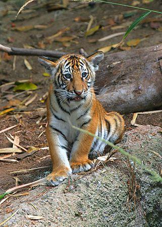 Tiger Cubs, Litter 1, Part II
