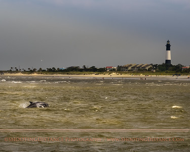 Dolphin leaping, near Tybee Island Lighthouse, GA