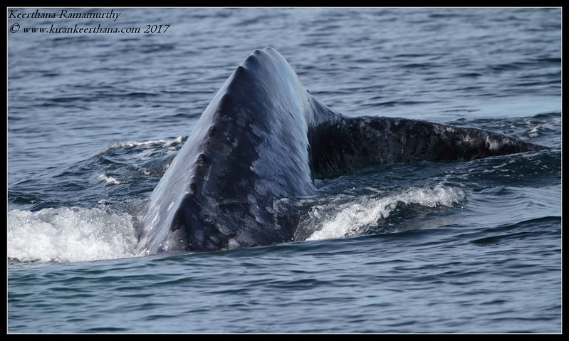 Grey Whale, Whale Watching trip, San Diego County; California, January 2017