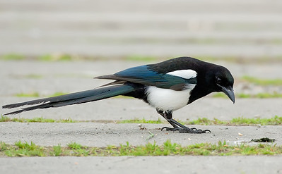 Blackbilled Magpie