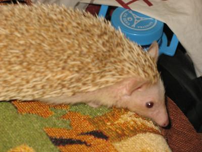 2011-10-15, Exotic Hedgehogs