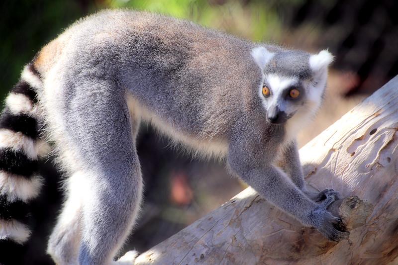 IMG_1523 Lemur Soft.jpg