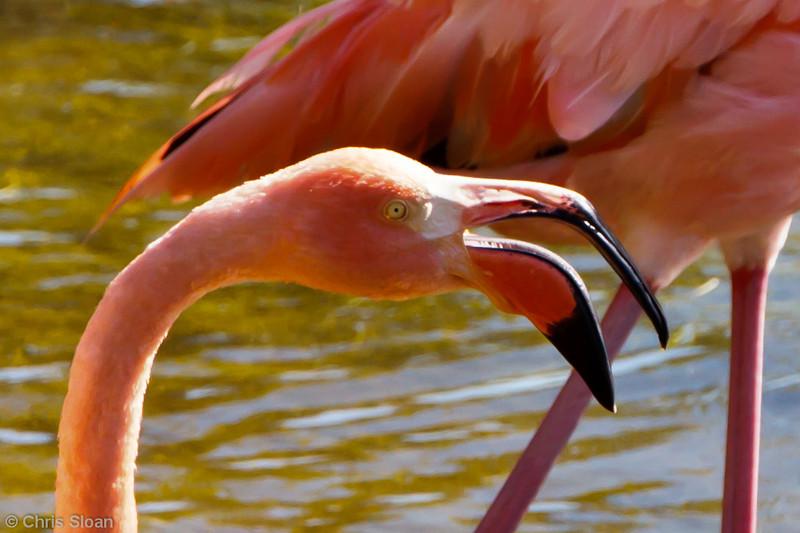 American Flamingo at Punta Moreno, Isabela, Galapagos, Ecuador (11-23-2011) - 803.jpg