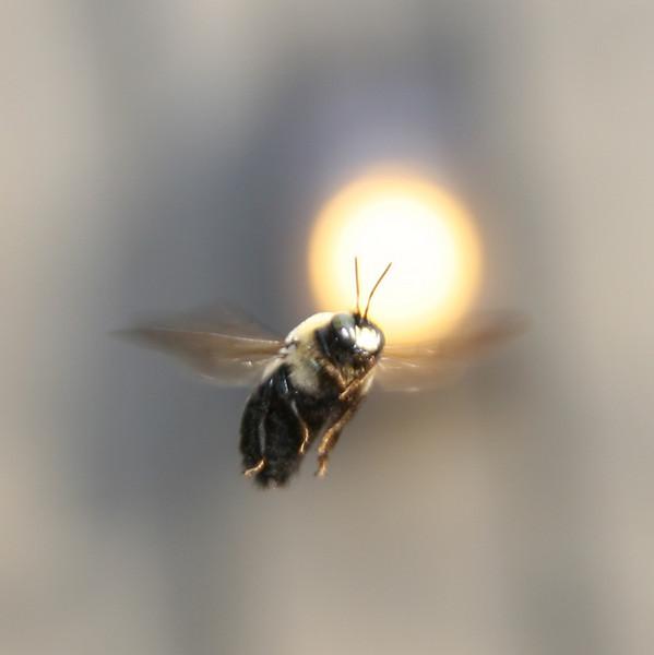 Bee in Flight - 3