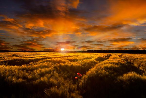 Fine Art natuur foto van een graanveld met een stralende zonsopkomst drie klaprozen en een warme wolkenlucht.