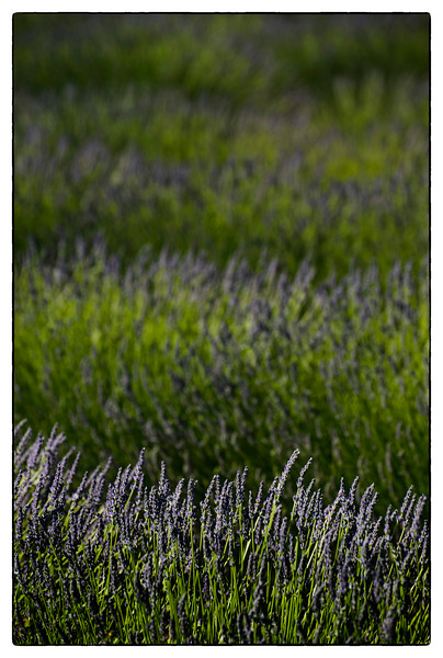 lavender layers.jpg