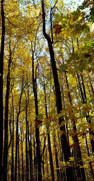 golden trees verticle.jpg