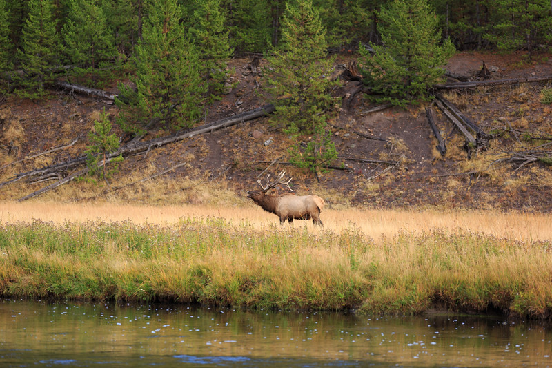 Elk Rut along the Madison River 005