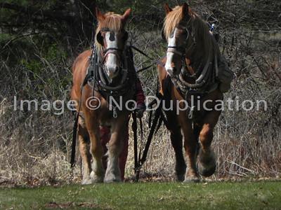 HORSE LOGGING, Siren WI, 2012 0507