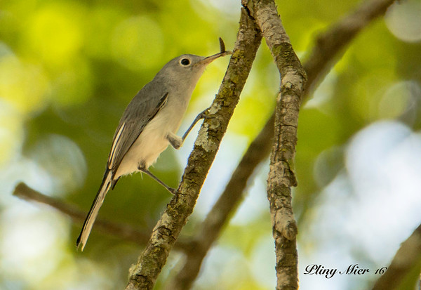Blue-gray Knatcatcher_DWL9837.jpg