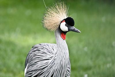 Crowned Stork