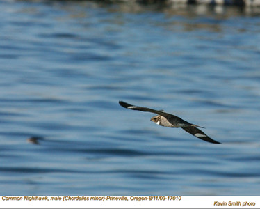 CommonNighthawkM17010.jpg