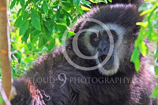 White-Handed (Lar) Gibbon Wildlife Photography