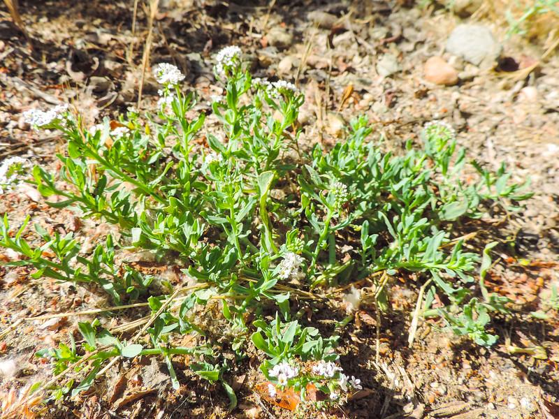 Salt Heliotrope (Heliotropium curassavicum var. oculatum) BORAGINACEAE