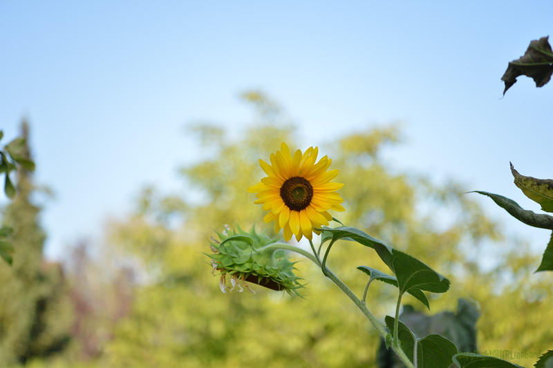Sunflower Lonay_20092020 (3).JPG