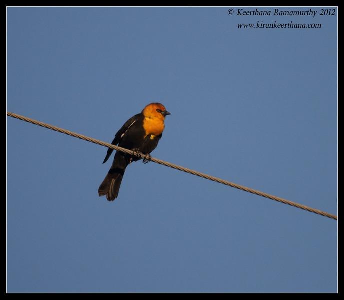 Yellow-headed Blackbird, Cibola National Wildlife Refuge, Arizona, November 2012