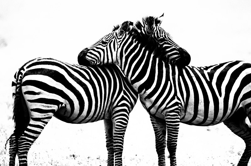zebras 4577 silver.jpg