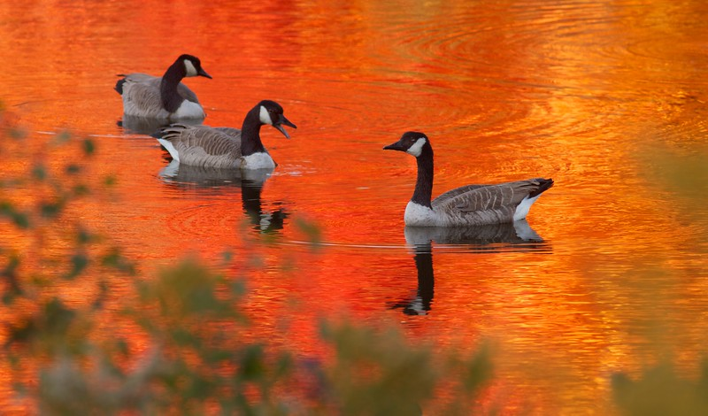 Canada Goose fall color reflection Rock Pond UMD Duluth MN IMG_0067214.jpg