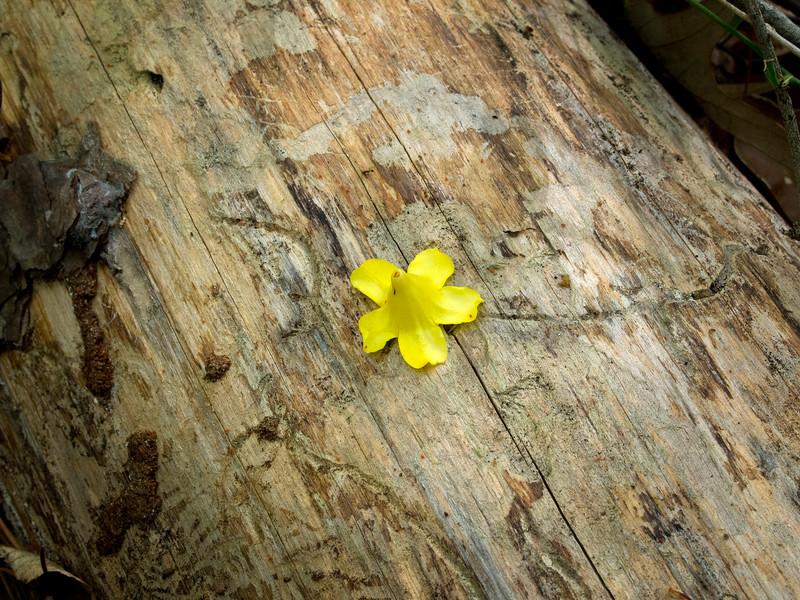 2012-03-18 yellow flower on log_3180169.jpg