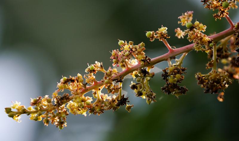 mango blossoms