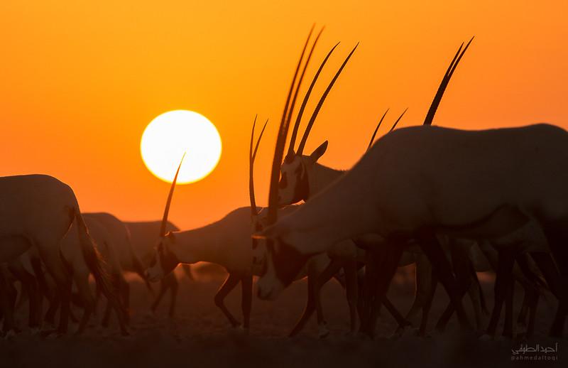 Arabian Oryx (3).jpg