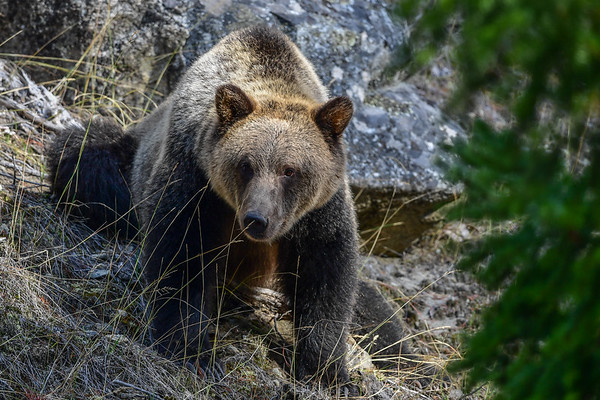 """9-28-17 **Bella Coola - The Young Grizzly named  """"Perfect"""""""