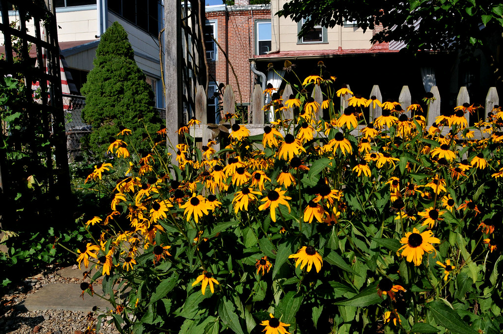 . PHOTO PETE BANNAN- Black eyed Susans grow in the backyard of Terry Spadoni\'s West Chester row home.