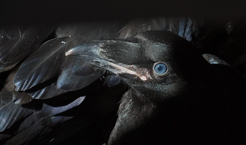 Common Raven ready-to-fledge juvenile blue eyes nr Esko Carlton Co MN IMG_0036568.jpg