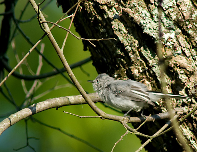 Juvenile of the Empidonax family of Flycatchers  Acadian or Willow Flycatcher