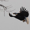 Bald Eagle, Hendricks County<br /> Flying into the sunset, the eagle's eye and tail feathers captured the sun.