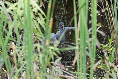 03_Everglades - Heron - Tricolored - Adult