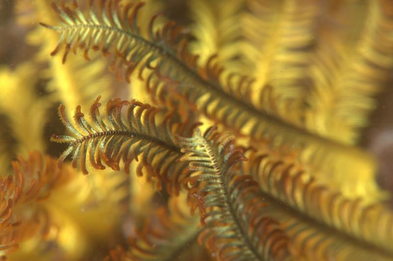 pattern crinoid-0915.NEF