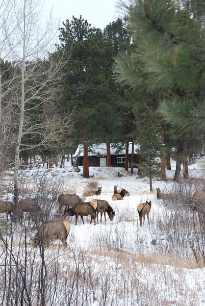 Elk RMNP 122008.jpg